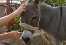 Dalmatian donkey